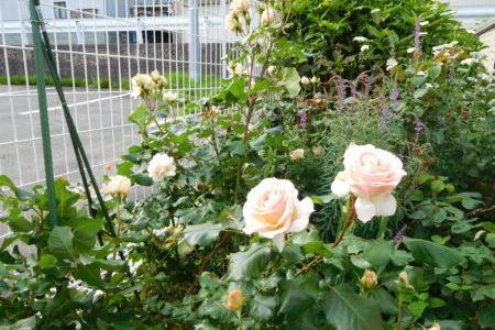 牧師館のお花たち⑧